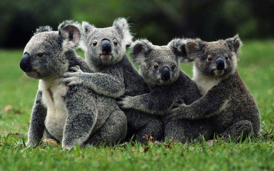 Koala-australian-animals-33682516-960-600